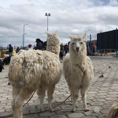 BLOG INTERNSHIP YELITH Otavalo-alpacas-animal-market - Ecuador & Galapagos Tours