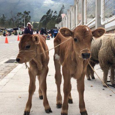 BLOG INTERNSHIP YELITH Otavalo-cow-animal-market - Ecuador & Galapagos Tours