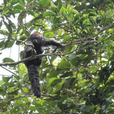 CUYABENO JUNGLE TOUR Animals - Fluffy monkey - Ecuador & Galapagos Tours