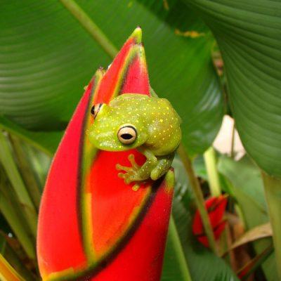 CUYABENO JUNGLE TOUR Animals - Frog on heliconia - Ecuador & Galapagos Tours