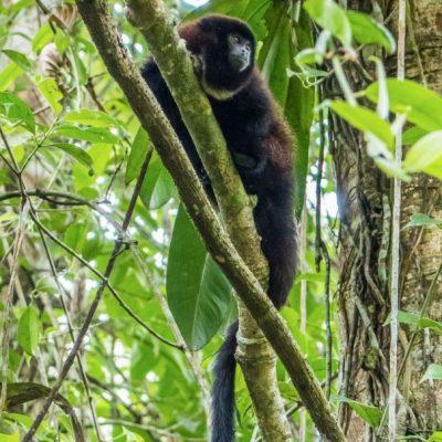 CUYABENO JUNGLE TOUR Animals - Howler monkey - Ecuador & Galapagos Tours