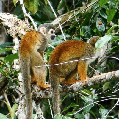 CUYABENO JUNGLE TOUR Animals - Squirrel monkey - Ecuador & Galapagos Tours