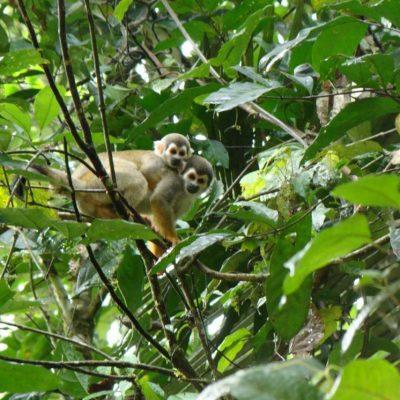 CUYABENO JUNGLE TOUR Animals - Squirrel monkey with baby - Ecuador & Galapagos Tours