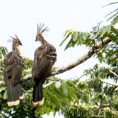 CUYABENO JUNGLE TOUR Animals - Stinky turkey - Ecuador & Galapagos Tours
