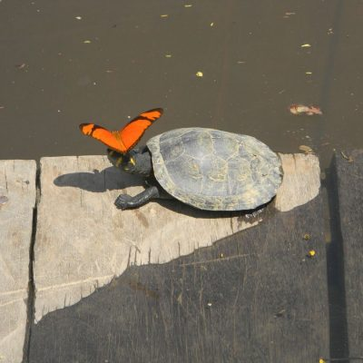 CUYABENO JUNGLE TOUR Animals - Turtle and butterfly - Ecuador & Galapagos Tours