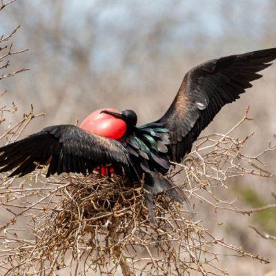 GALAPAGOS ISLAND HOPPING Wildlife - Frigate Bird - Ecuador & Galapagos Tours
