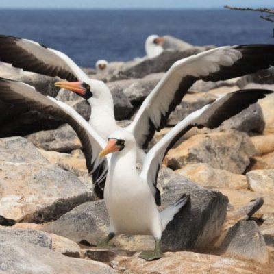 GALAPAGOS ISLAND HOPPING Wildlife - Nazca Boobie - Ecuador & Galapagos Tours