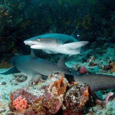 GALAPAGOS ISLAND HOPPING Wildlife - White Tip Shark - Ecuador & Galapagos Tours