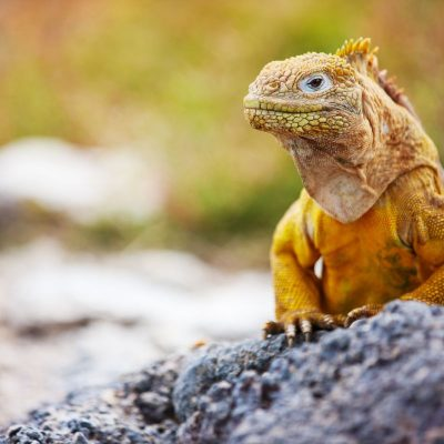 GALAPAGOS ISLAND HOPPING Wildlife - Yellow Land Iguana - Ecuador & Galapagos Tours